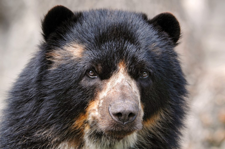 Spectacled/Andean bear