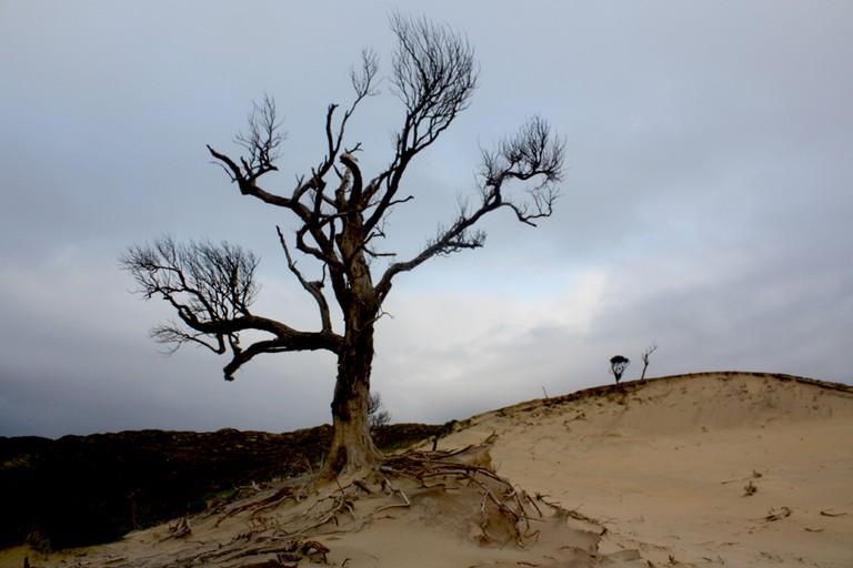 Dead tree on Chatham Islands' sand dunes