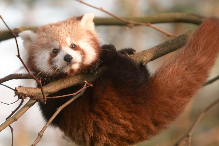 A red panda at the zoo