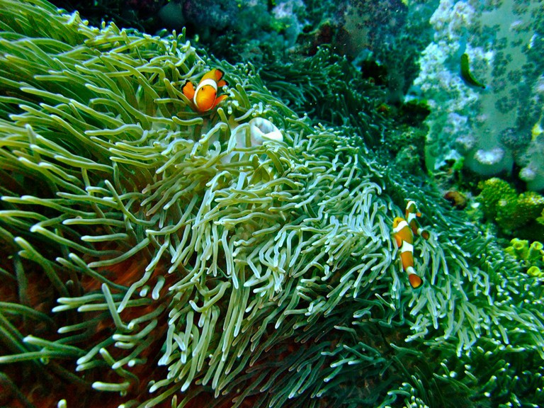 "Clown anemonefishes (a.k.a. ""Nemo"")"