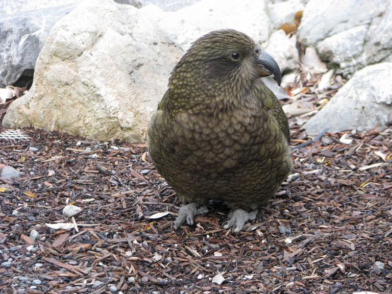 Kea at Arthur's Pass