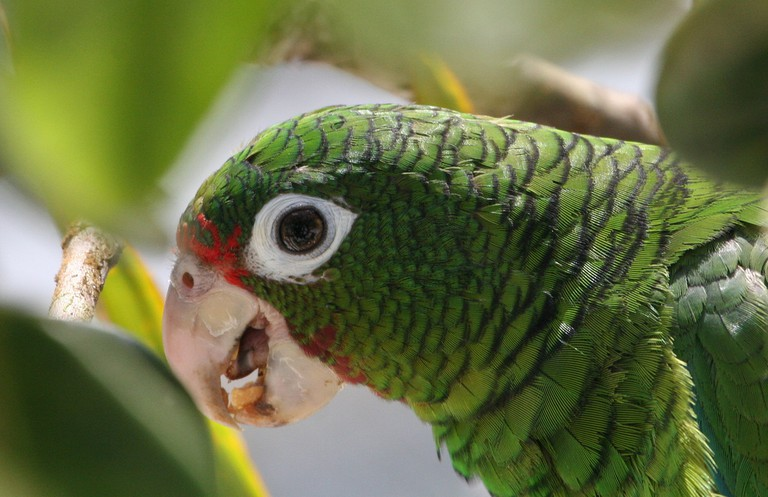 Endangered Puerto Rican parrot ceremonially released at the new flight cage of the flight cages at the Iguaca Aviary. Saturday