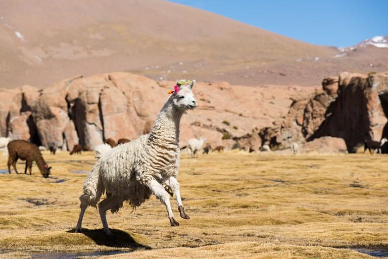 Llama in Bolivia