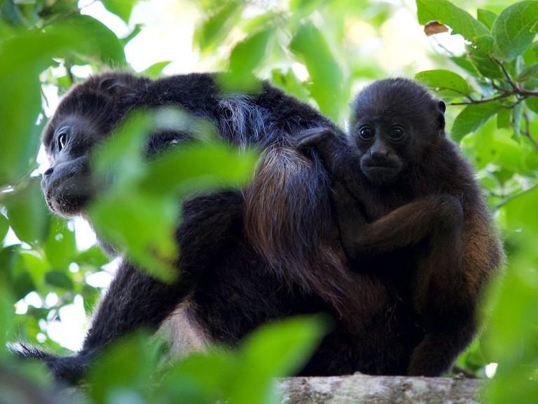 Howler monkeys: your new alarm clock | © Jan Hazevoet / Flickr