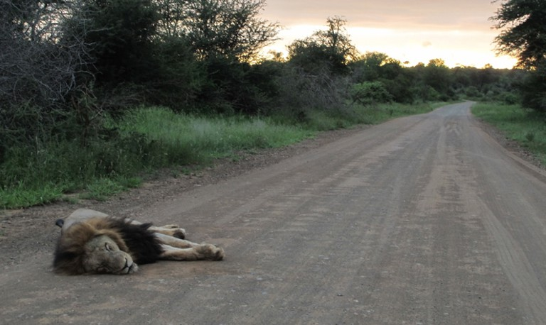 Male lion sleeping on the road in the Kruger National Park