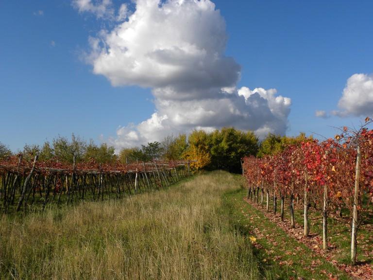 Autumn Vineyards│