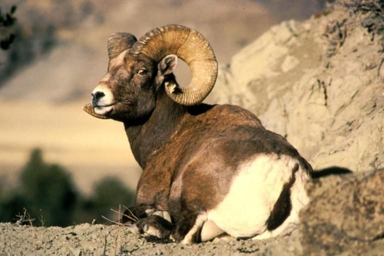 Bighorn rams | © Dean Biggins, U.S. Fish and Wildlife Service / Wikimedia Commons