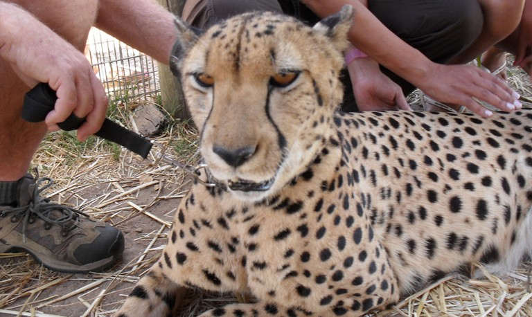 Cheetah at a popular animal encounter facility in Cape Town