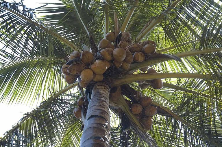 Endless coconut supply | © Koshy Koshy / Flickr