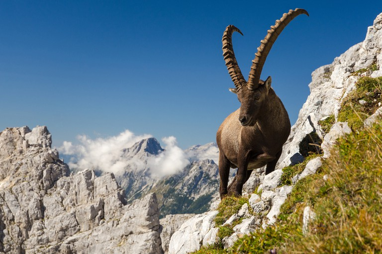Alpine ibex in Slovenian Alps│