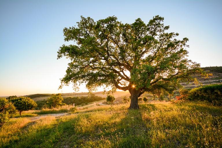 Cork oak tree in evening sun, Alente