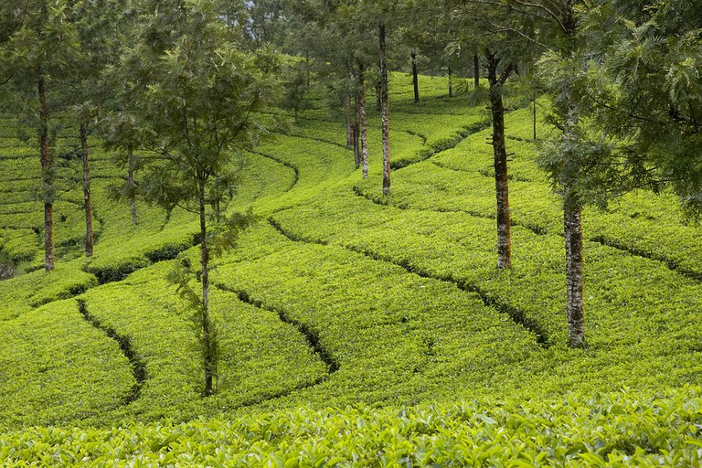 Tea Gardens at Munnar