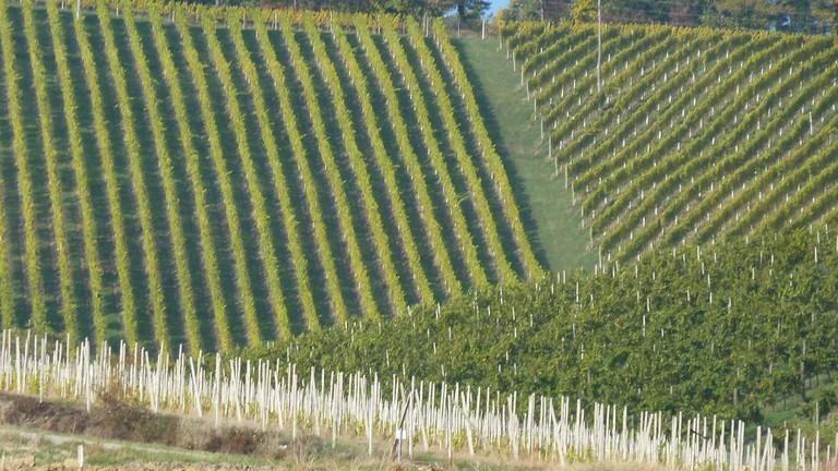 Vineyards in Slovenia│
