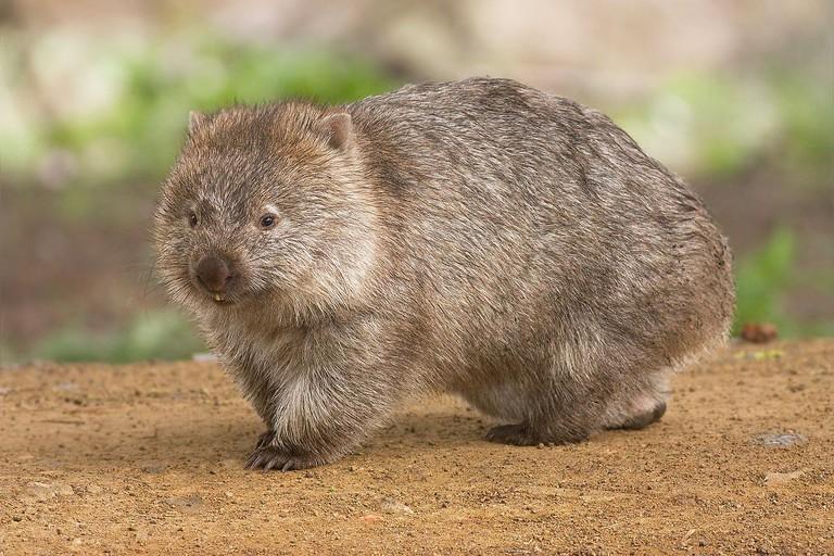 Common Wombat Maria Island