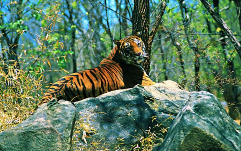 Bengal Tiger at Wayanad Wildlife Sanctuary