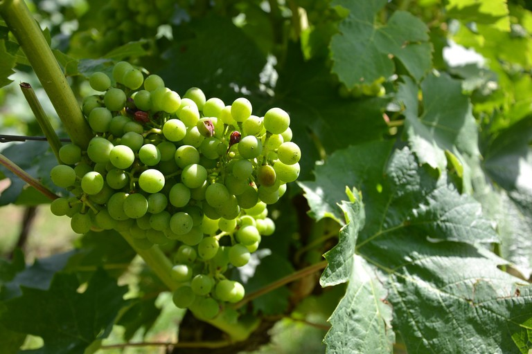 Over 200 grape varieties are grown in Switzerland
