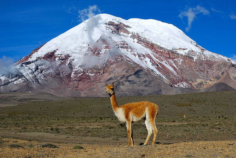 A wild vicuña in front of Chimborazo