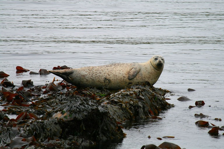 Common Seal, Islay