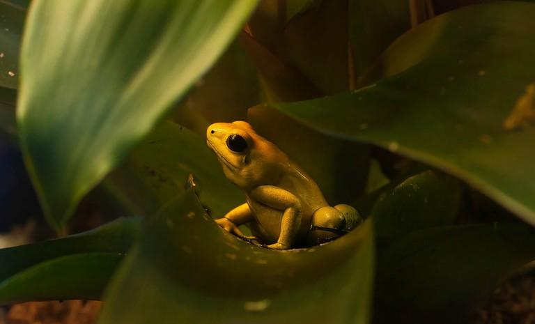The golden poison dart frog