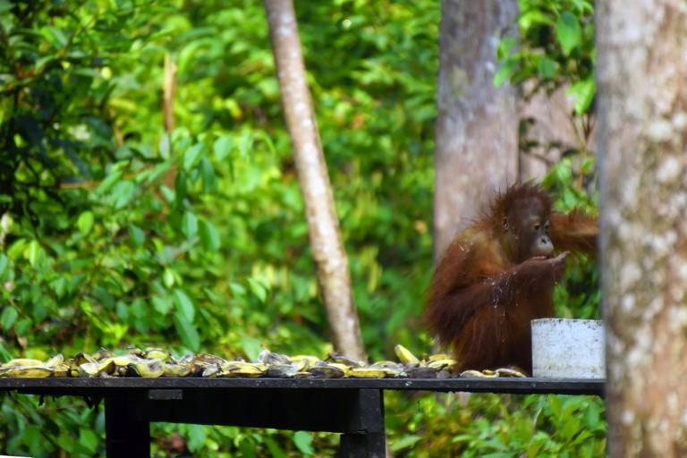 An orangutan at Tanjung Puting National Park, Indonesia