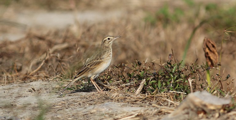 The Richard's Pipit