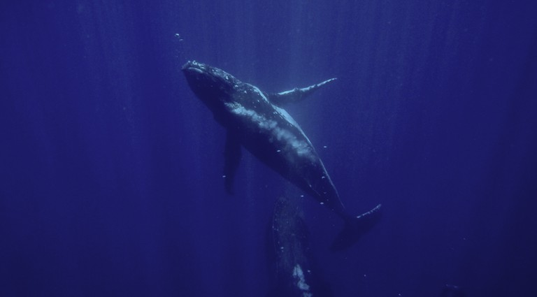 Lucky divers in Gorgona might even see humpback whales