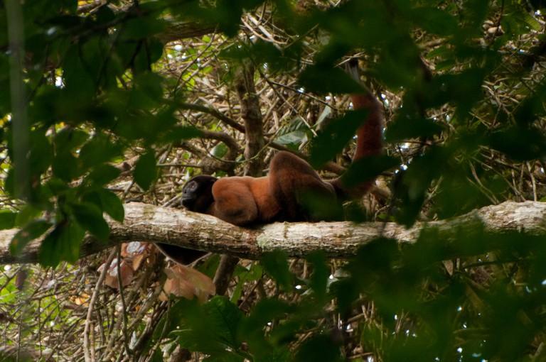 Wooly Monkey, Yasuni National Park