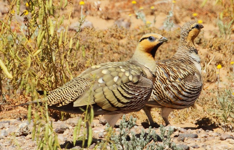 The pin-tailed sandgrouse
