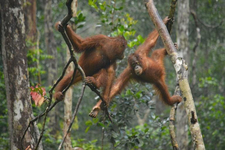 Two orangutans at Tanjung at Borneo