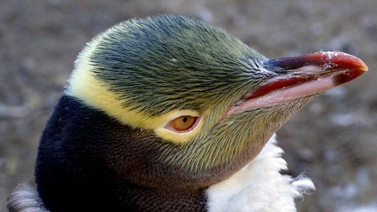 Yellow-Eyed Penguin at Harington Point, Otago