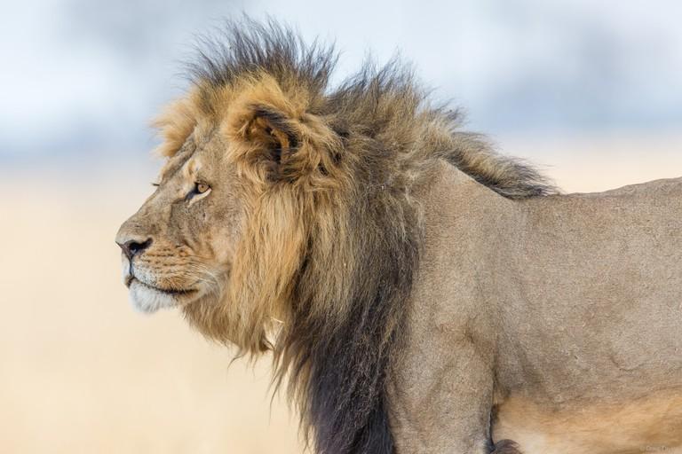 Cecil, a lion in Hwanke National Park, Zimbabwe, (Photo: Craig Taylor)