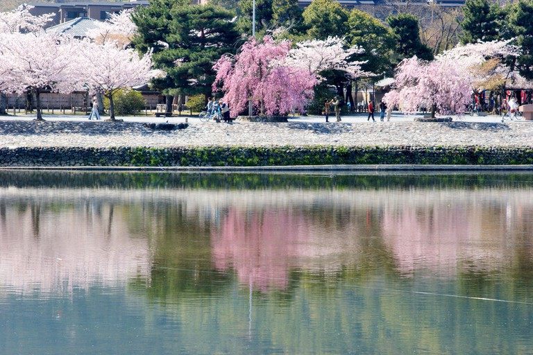 Riverside cherry blossoms in Kyoto