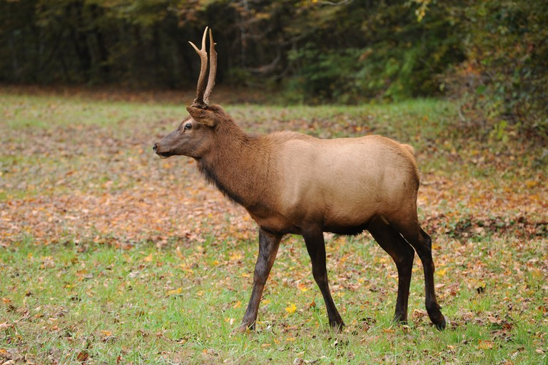 Elk in the Great Smokies