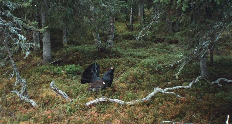 Capercaillie at Kuusamo / Aleksi Stenberg / Flickr