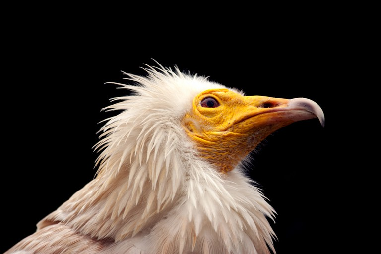 The Egyptian Vulture
