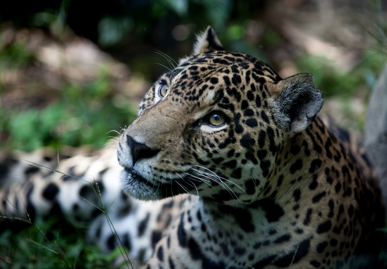 The mighty Jaguar still roams the wilds of Chiribiquete