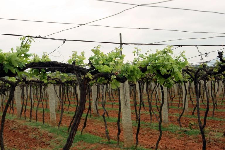 Vineyard in Bangalore