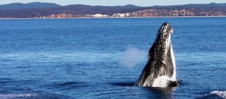 Whales at Hervey Bay
