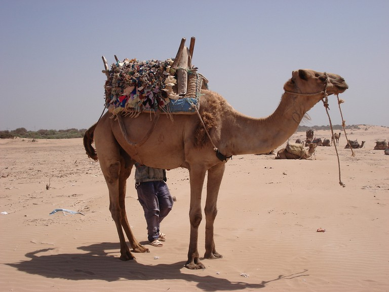 Camel with goods