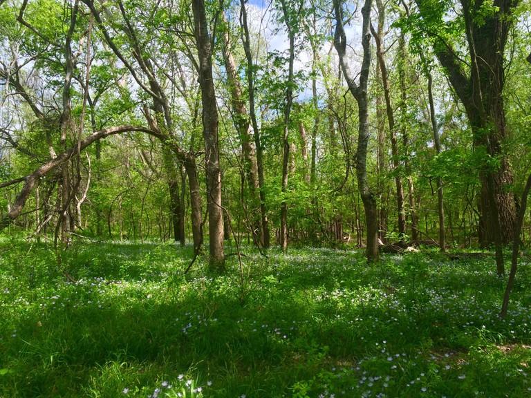 Texas cottonwoods