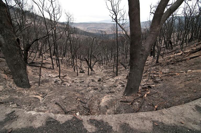 CSIRO ScienceImage 10517 The Kinglake National Park after the Black Saturday bushfires