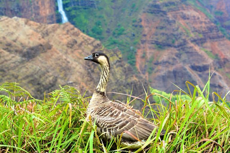 Nēnē, Hawaiian goose at Waimea Canyon on Kauai