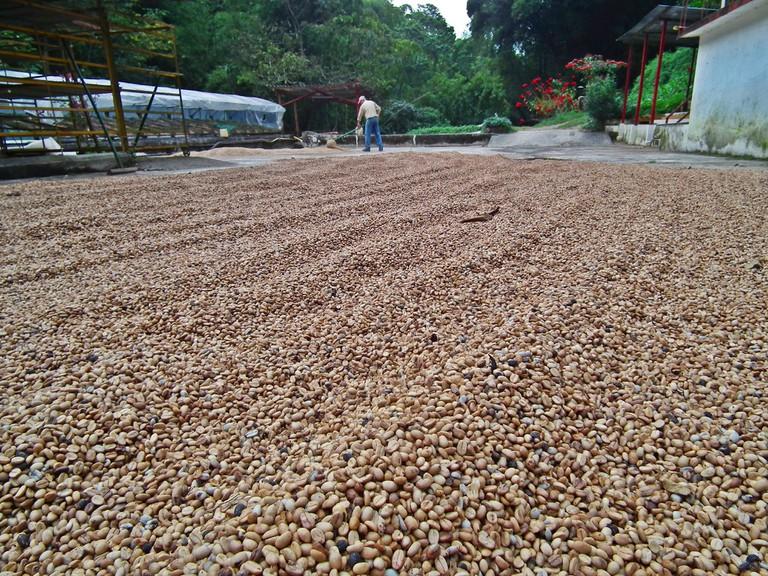 Coffee drying in the sun at La Victoria coffee plantation