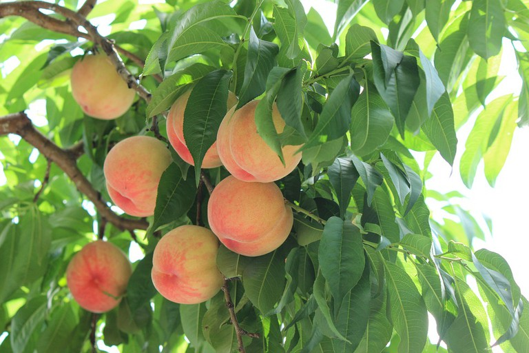 Fukushima peaches in summertime