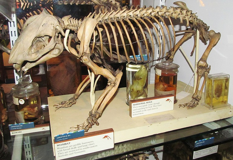Wombat skeleton at the Grant Museum of Zoology