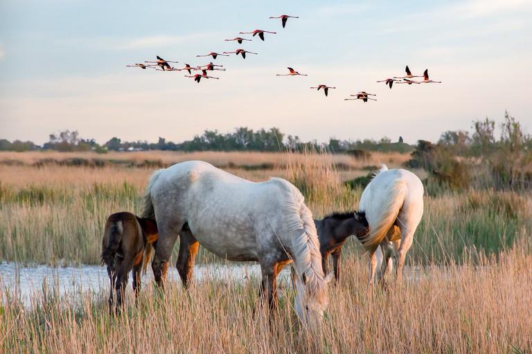Horses and flamingos in the Camargue │© XtianDuGard / Pixabay