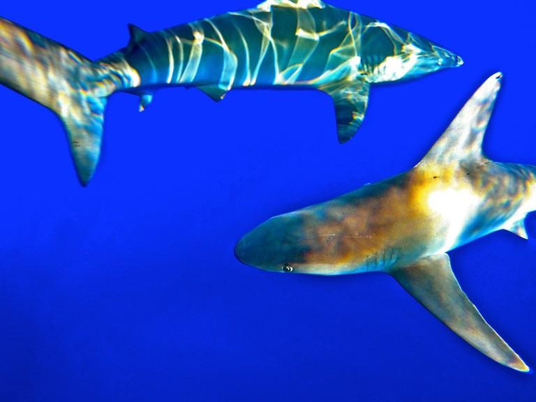 Galapagos and Sandbar shark off Haleiwa, Oahu