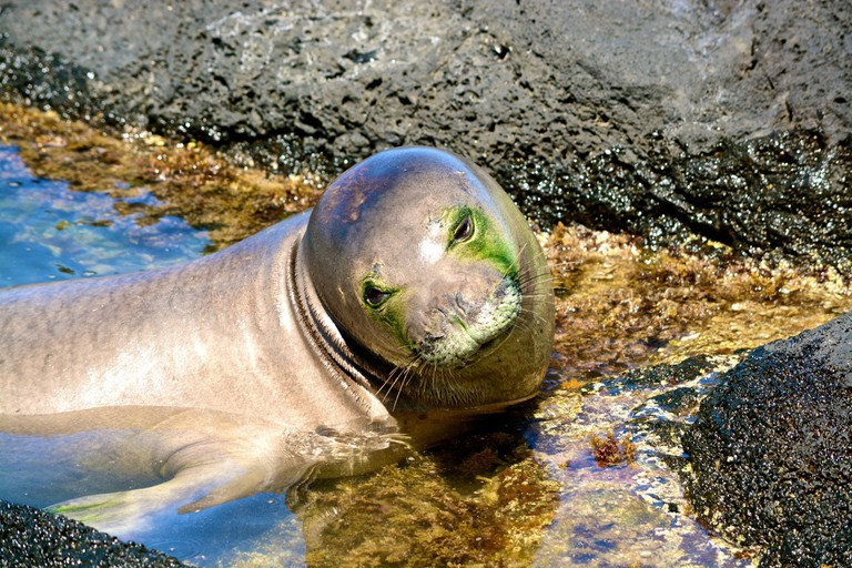 Hawaiian monk seal lounging in a tide pool