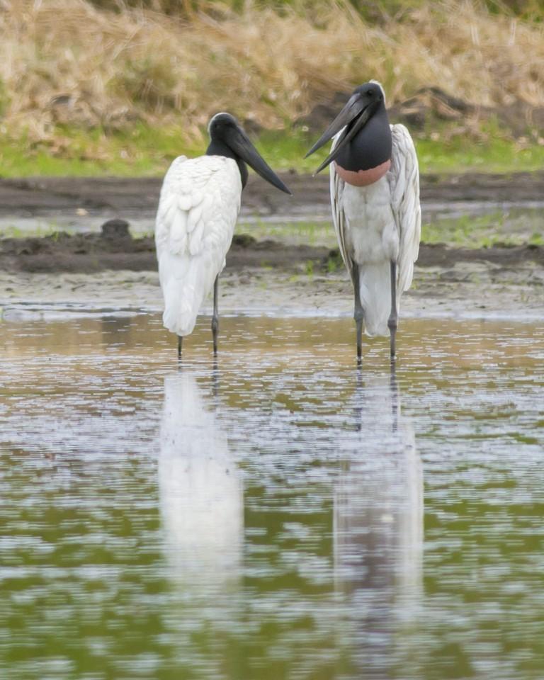 Jabiru couple