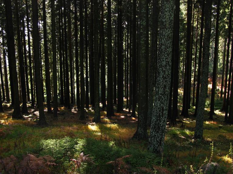 Forest in Koroška│
